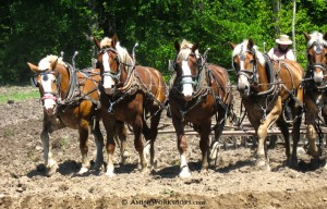An Amish man plows with a team of horses.