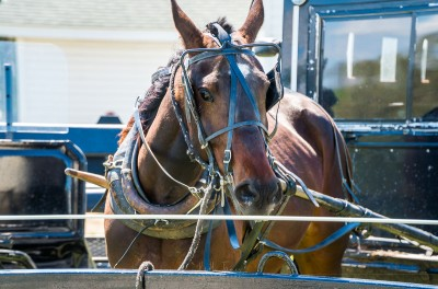 An Amish horse with blinders at the hitch.