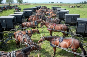Dozens of horses and buggies at the hitch at an Amish auction.