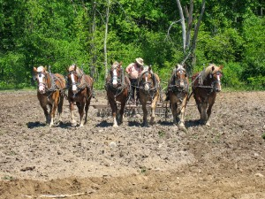 An Amish man with a team of six horses plowing his field.