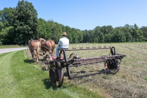 An Amish man with draught horses tedding the hay.