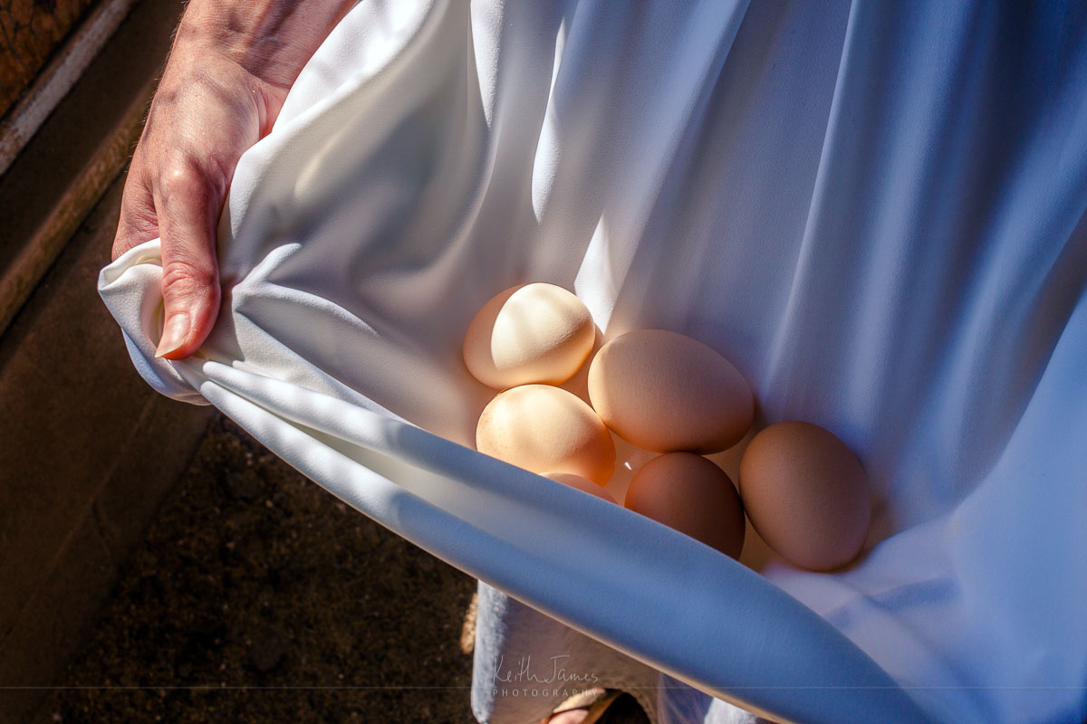 An Amish woman gathers eggs in her apron.