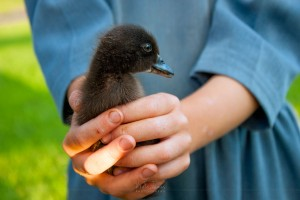 An Amish girl shows her duckling.