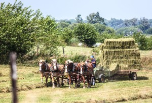 An Amish man and woman with team of horses bring in the hay with a team of horses.